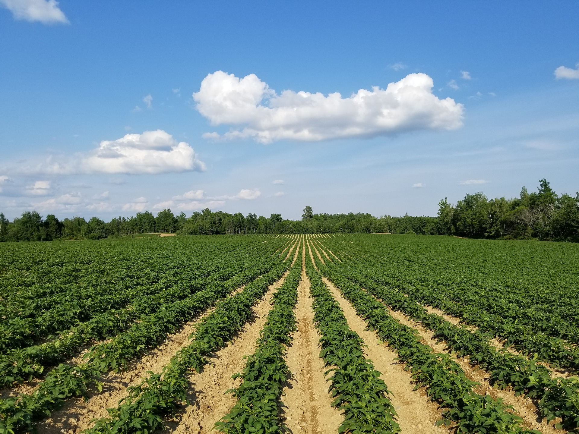 Krompir: Nega Tokom Sezone