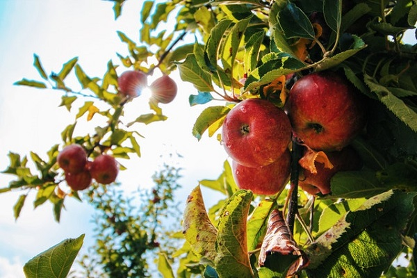 vocnjak jabuke